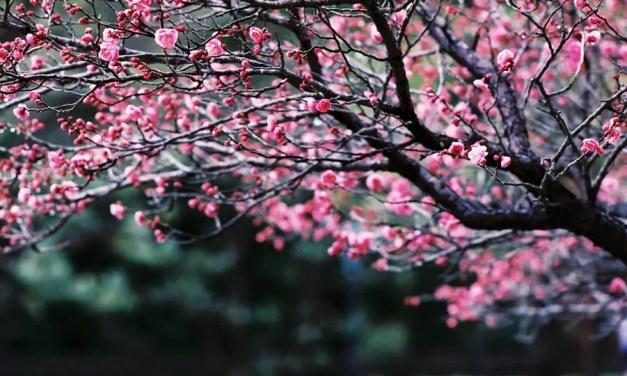 Simply sakura – Fuji Superia Premium 400