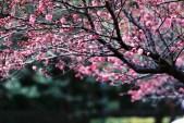 Simply sakura - Fuji Superia Premium 400 shot at EI 400. Color negative film in 35mm format.