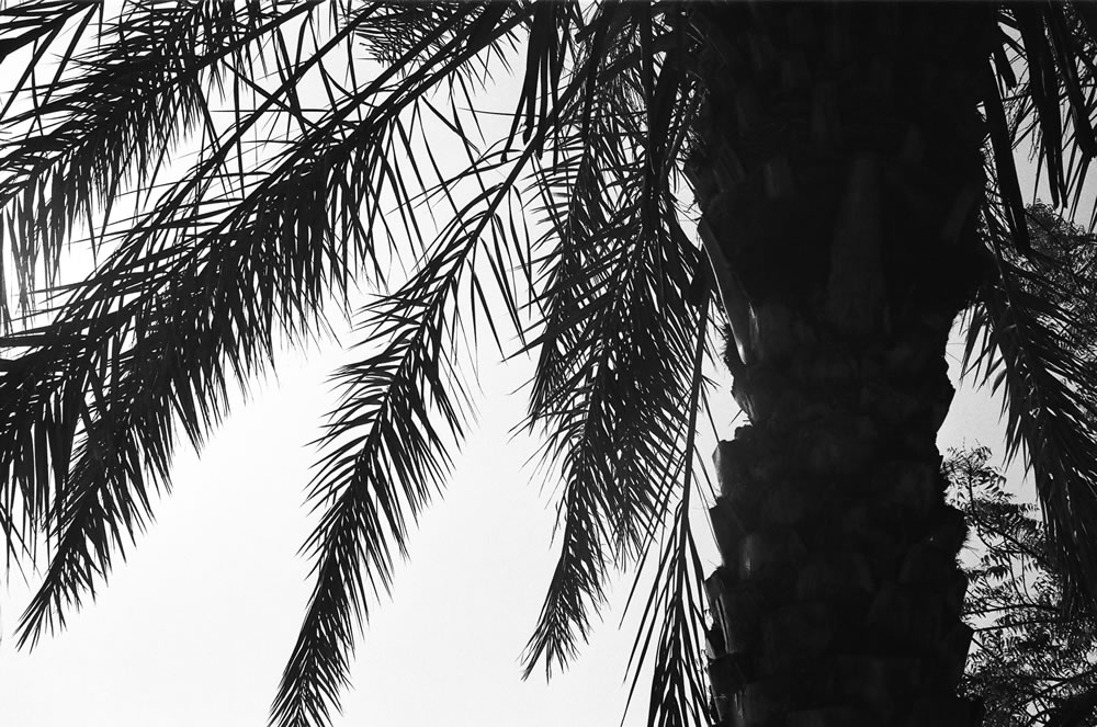 """Palm Tree Silhouette"", Dubai, April 2014 - Ilford HP5+ / Zeiss IKON ZM / Zeiss 50mm f/1.5"