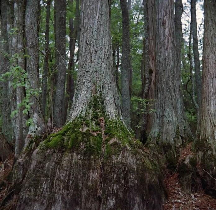 Cypress bottoms - Bobby Kulik