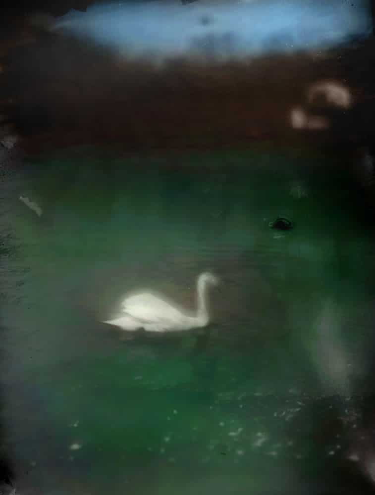 Homemade Dryplate Swan at Arnold's Neck - John Nanian