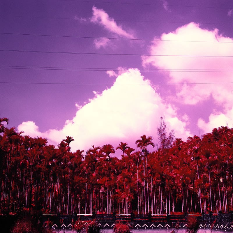 Palm grove - Kodak AEROCHROME III (1443) shot at EI 400. Color infrared slide film in 120 format shot as 6x6. Orange #21 filter