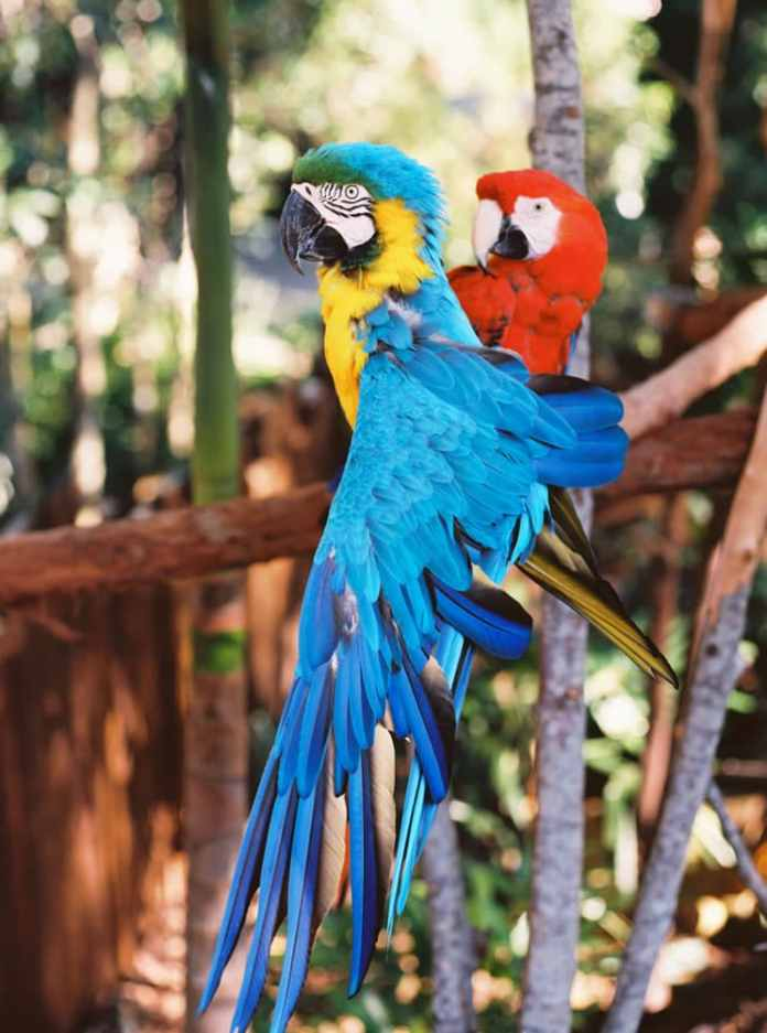 Macaws - Australia Zoo