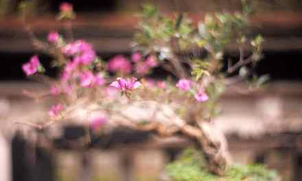Bougainvillea bonsai – Fuji Provia 100F – RDP III (4×5)