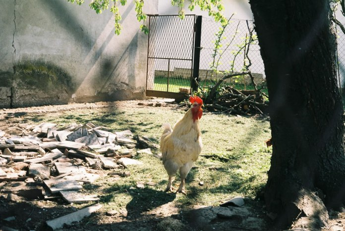 Fujicolor 200 - The neighbor's rooster