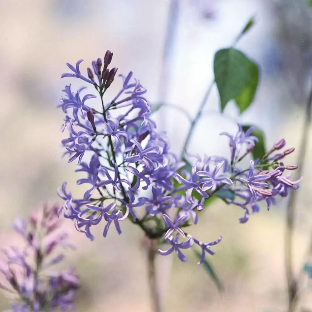 Lilacs - Descanso Botanical Gardens. Hasselblad 500C, Fujifilm Pro 400H