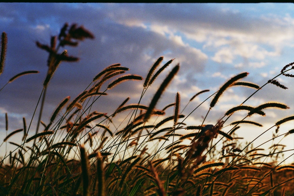 Weeds in the sunset light - Praktica MTL 5B + Pentacon 50mm f/1.8 + Kodak ColorPlus 200
