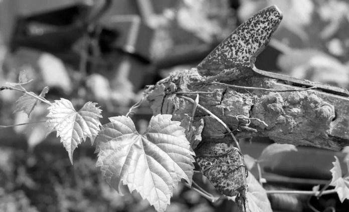 Plant Growing on Machine - Kodak T-MAX 100 - Nikon F5