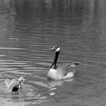 Kodak HC-110 1:31 - Ducks