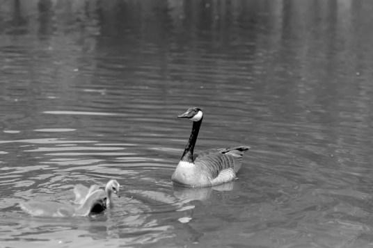 Kodak HC-110 1:31 - Ducks