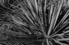Yucca - Fuji Across 100 (0)