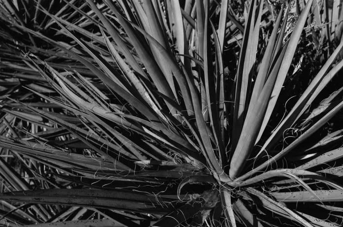 Yucca - Fuji Across 100 (-)