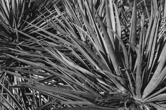 Yucca - ILFORD Delta 100 Professional (-)