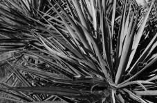 Yucca - Kodak T-MAX 100 (0)