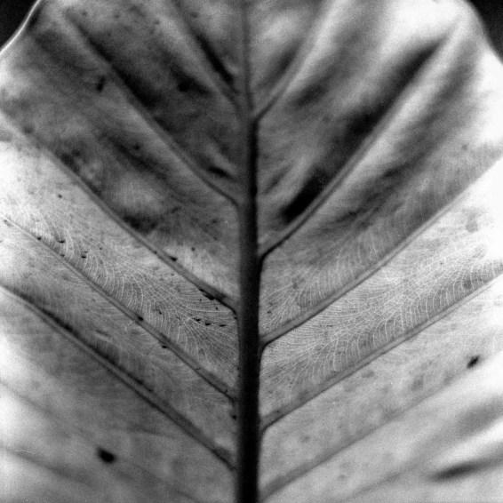 Veins 02 - Shot on Rollei Superpan 200 at EI 200. Black and white negative film in 120 format shot as 6x6. Hasselblad 2000 + Kodak Aero Ektar 178