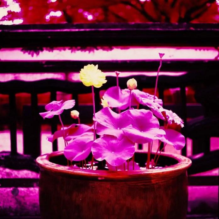 Full bloom - Shot on Kodak AEROCHROME III 1443at EI 400. Color infrared aerial surveillance film in 120 format shot as 6×6. Shot with #21 orange filter.