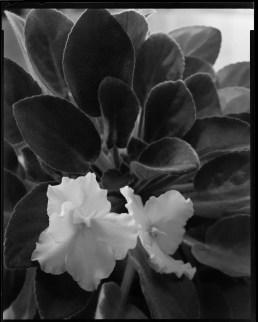 BOMM V810 Violet plant close-up.
