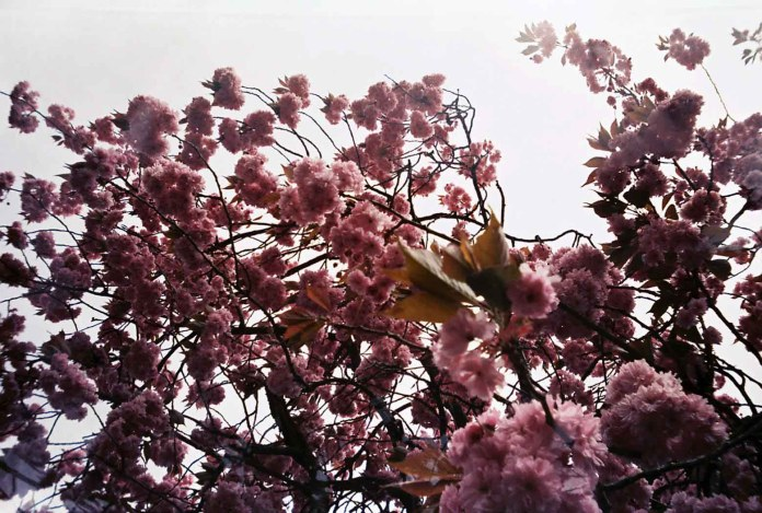 Natalie Allistone - Sakura Blossom, Sheffield, UK