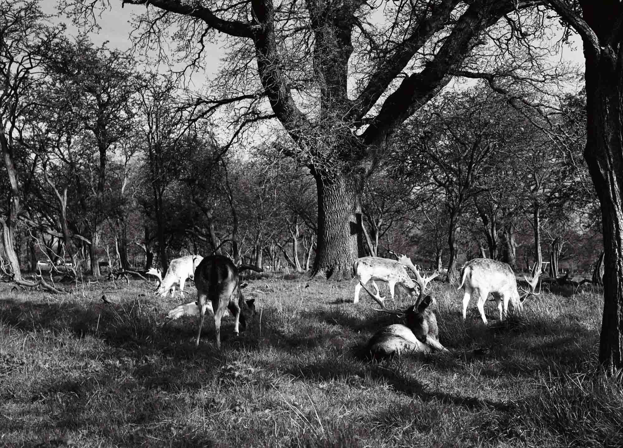 Phoenix Park Deer - Rollei Infrared (25A filter), Zenzanon 75mm f/2.8