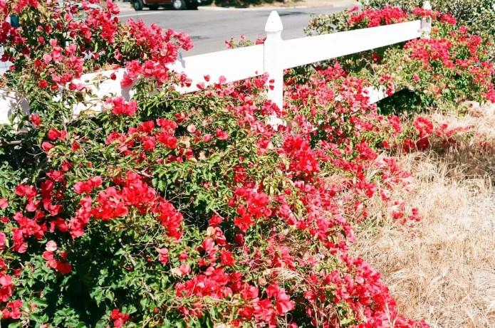 Fujicolor C200 - Flowers (Over +1)