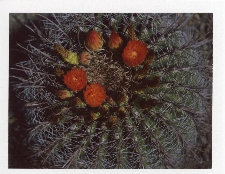 Tunas on a cactus, Fujifilm FP-100c with #583 Close-Up Kit