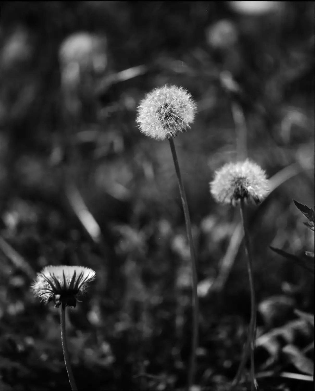 Dandelions in my garden (Savoie)