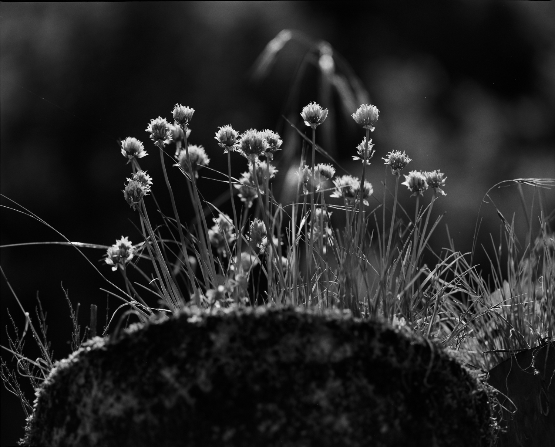 Some flowers (Savoie)