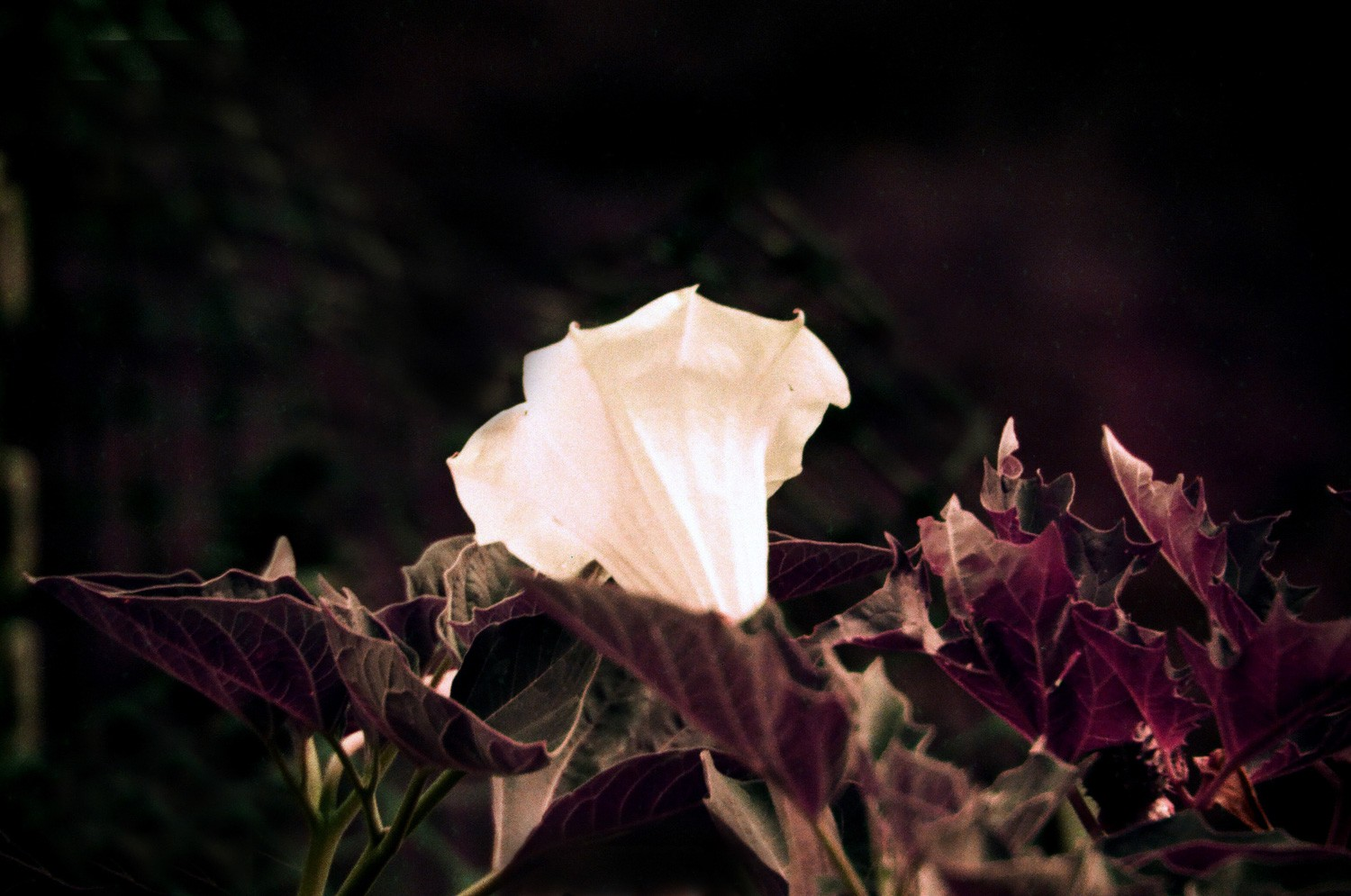 LomoChrome Purple XR 100-400 - Datura