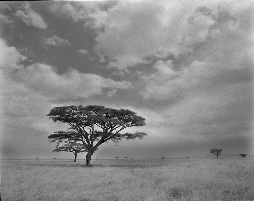 Acacias, Ngorongoro, Tanzania - ILFORD HP5 PLUS in Pyro PMK. Pentax 67II 45mm