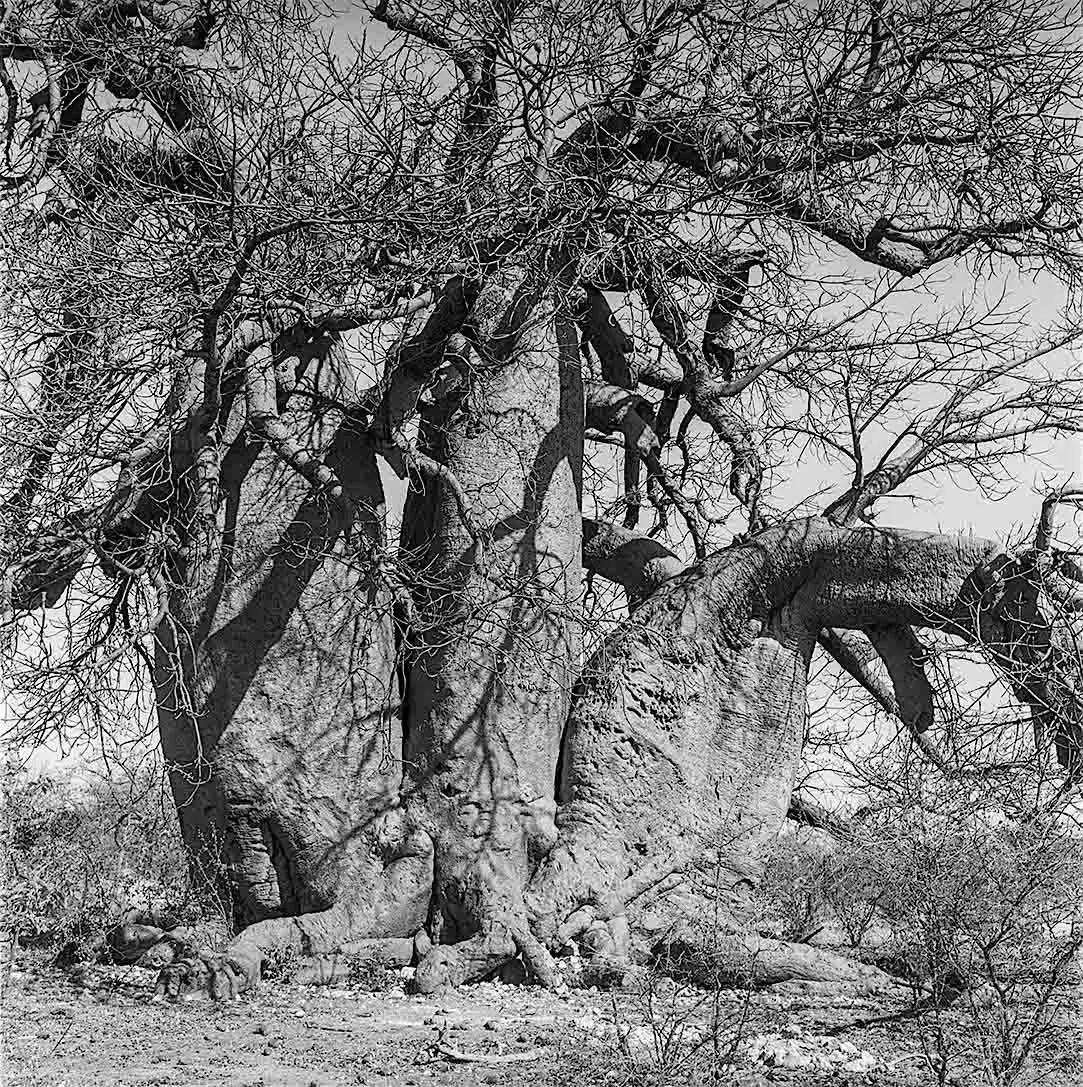 Green's Baobab, Gweta, Kalahari, Botswana - Kodak Tri-X Pan in HC-110, Rolleiflex 3.5. 01