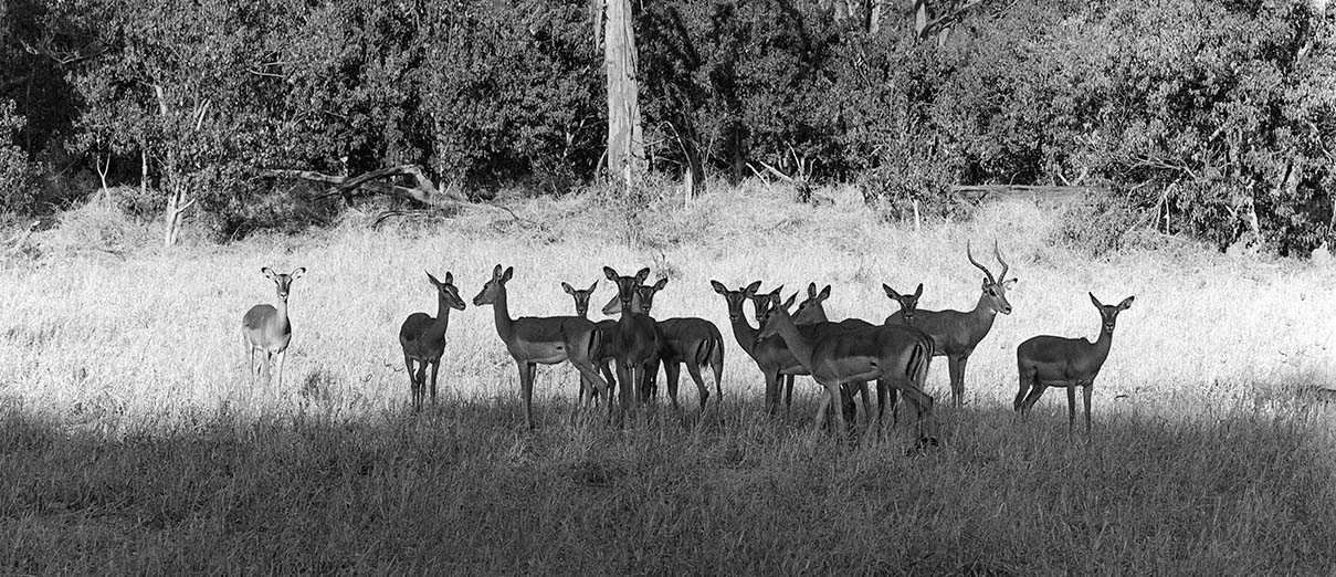 Impala male and harem, Chobe National Park, Botswana - ILFORD HP5 PLUS in Pyro PMK. Pentax 67II 135mm