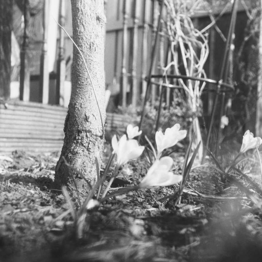 Yashica-B, Fomapan 400 Action home Developed in Ilford HC. Some flowers in my garden