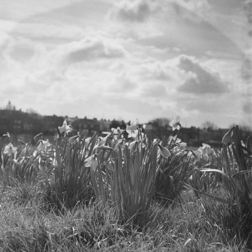 Yashica-B, ILFORD HP5 PLUS home Developed in Ilford HC. Some daffodils in glorious morning light