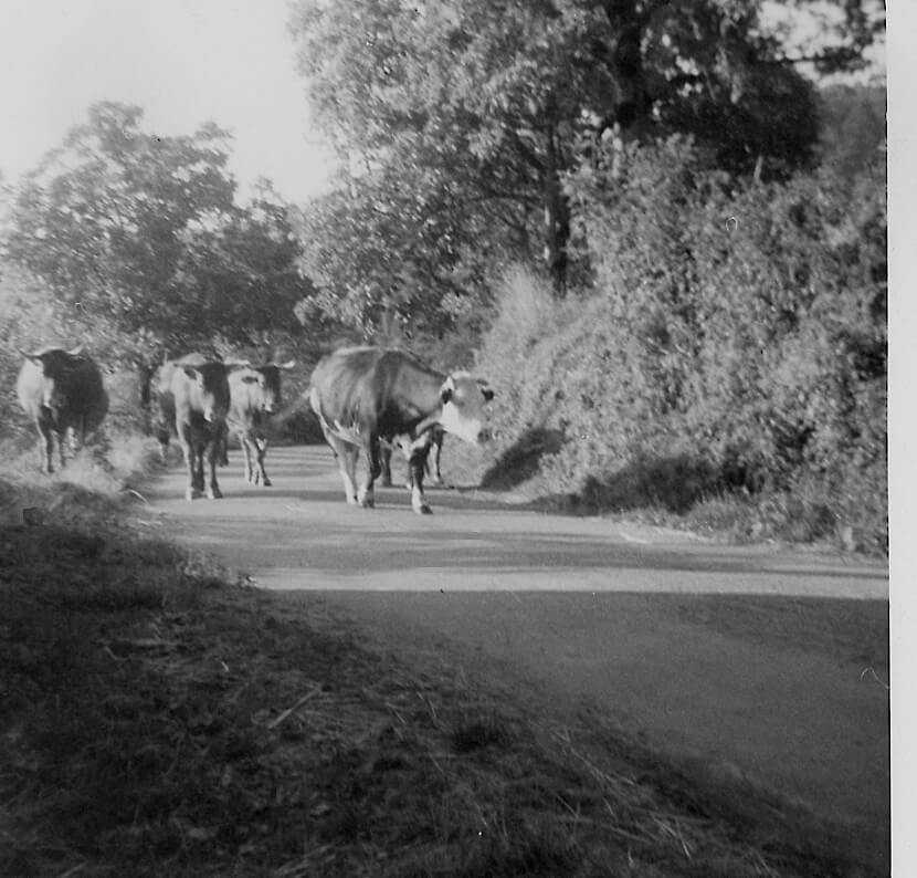 1965 - Cows returning to their stable