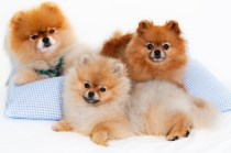 Pomeranian spitz dogs in a family group shot