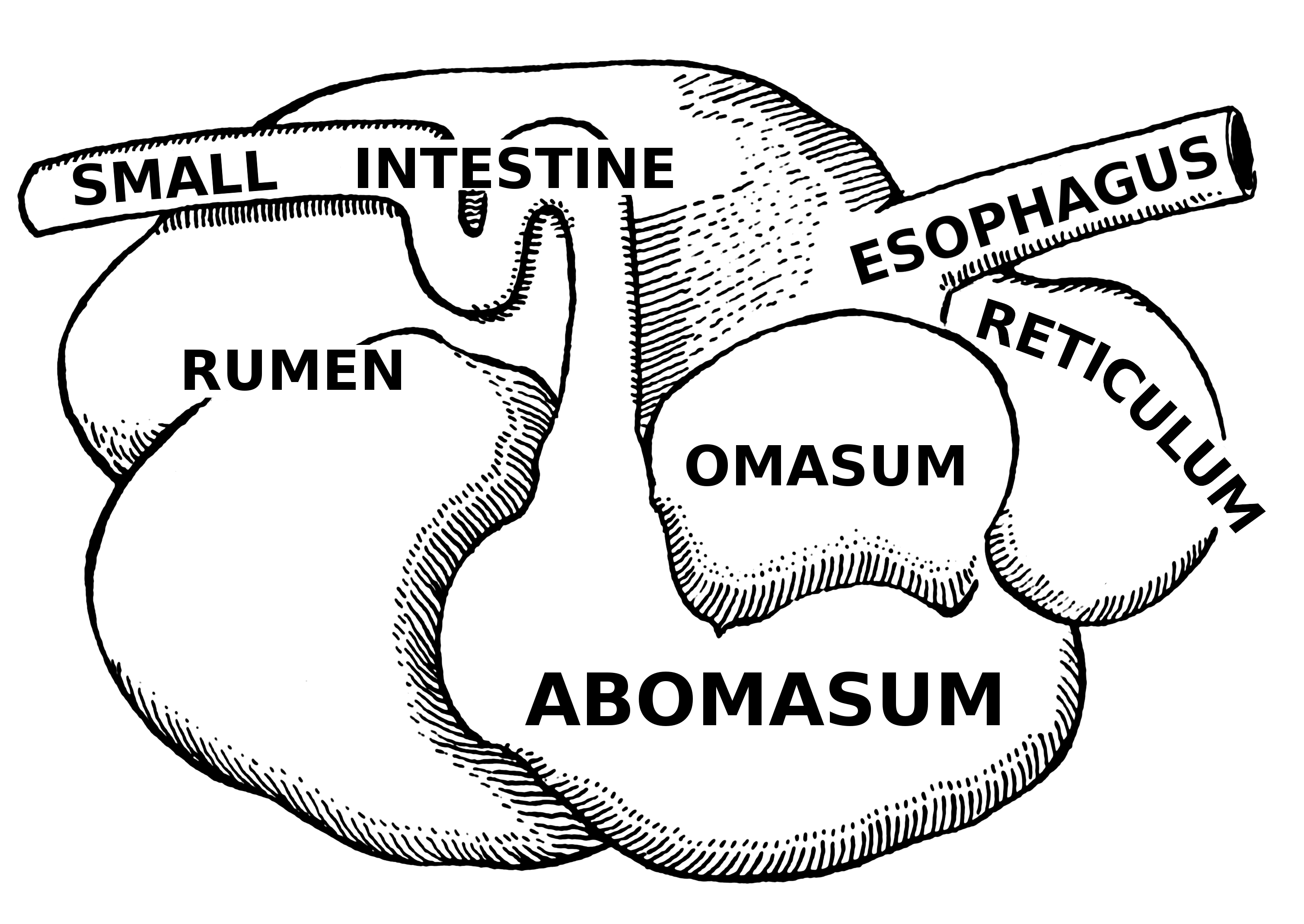 Ruminant Digestive System Diagram