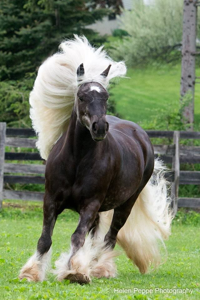 Friesian Martha Stewart