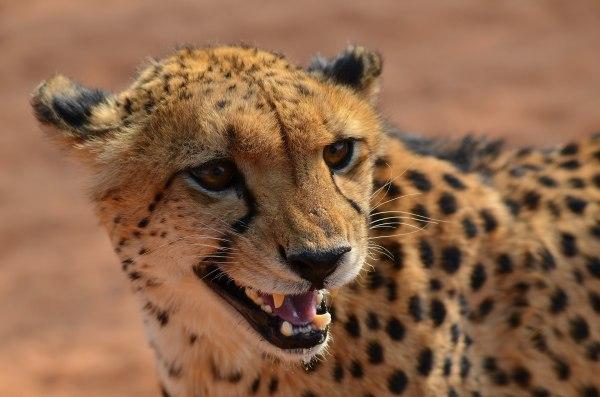 Fastest Animal Cheetah