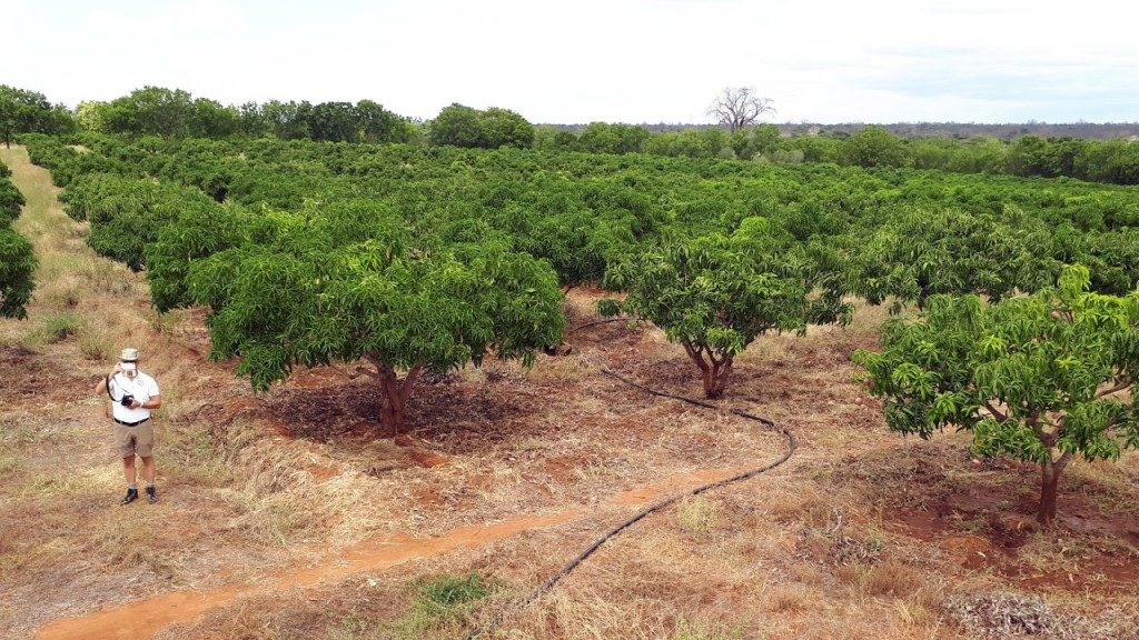Picture of the mango trees being watered with drip irrigation, Kibwezi 170706
