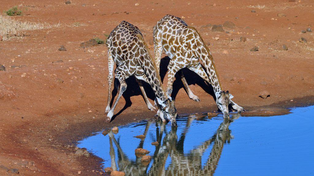 Två giraffer vid vattenhålet, 150710