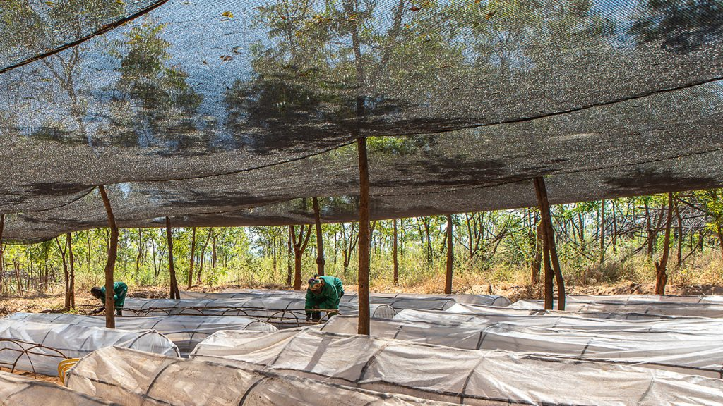 Protection from the sun at the nursery at the Kiambere plantation in Kenya. July, 2018