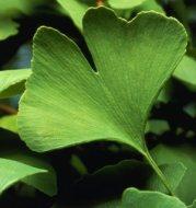 Ginkgo biloba: Origin, characteristics and medicinal properties