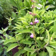 Sage: therapeutic properties and Cooking