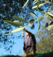 Organic production of olive in Jaén