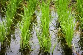 Calasparra rice