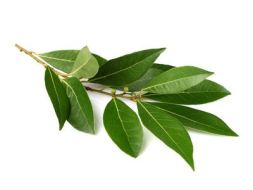 The Laurel, digestive and anti-inflammatory species
