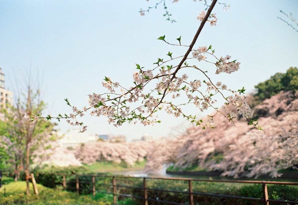 Where and When to See Sakura: Tokyo, Japan