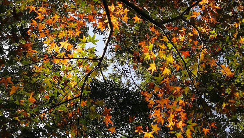 Autumn in Taiwan: Top 5 Places to See Maple Leaves, Manapan Mountail