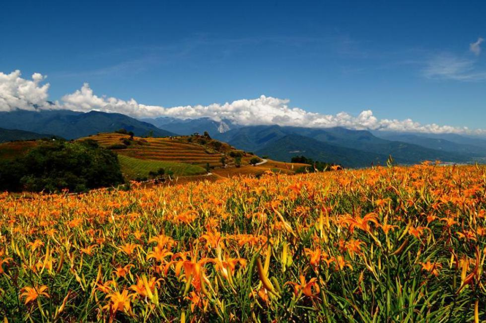 Mt Liushishi Daylily: Hualien, Taiwan