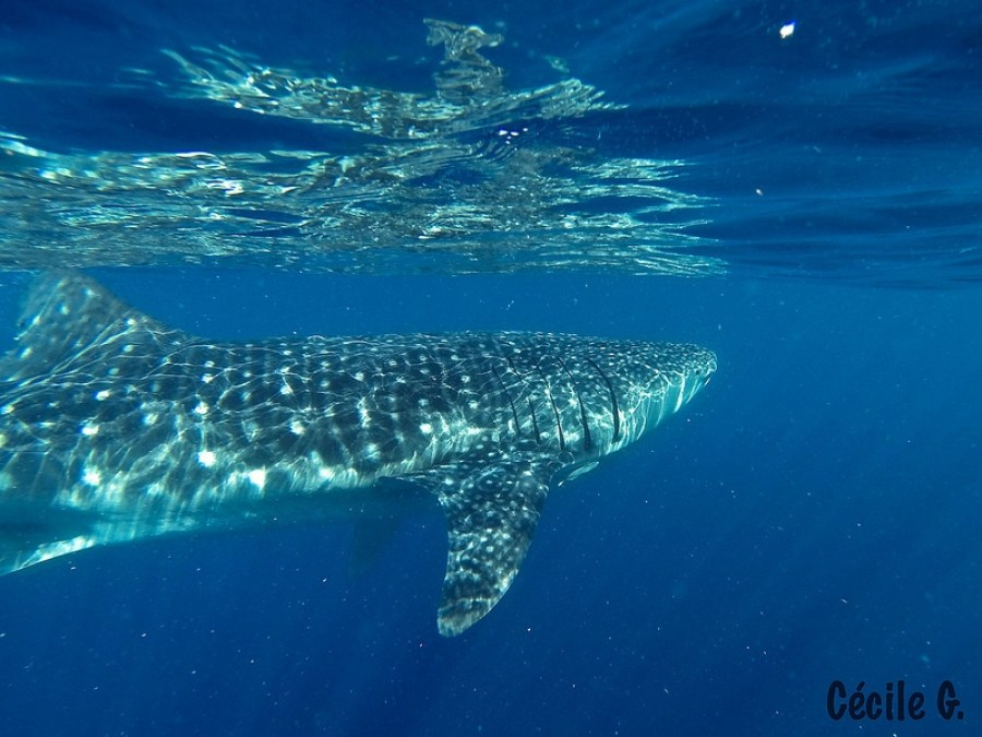 Oslob, Cebu: Whale watching is a common activity in certain parts of the Philippines